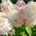 63768884 - phanton cultivated flowers the hydrangea white-pink